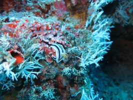 Nudibranch IMG 0488