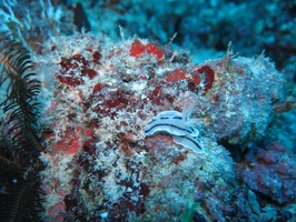 Nudibranch IMG 0474